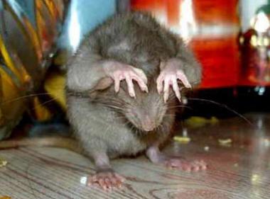 смешная крыса